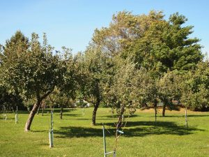 CJC.FruitTrees.Two