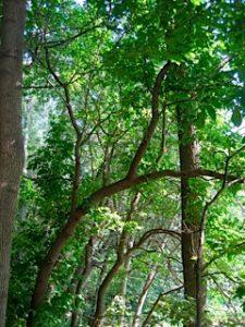Trees.MHG